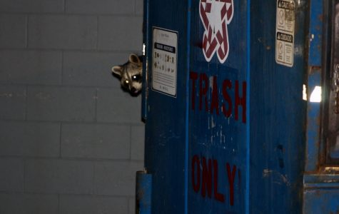 Brittany the Raccoon had some fine dining at the Bayside dumpsters.