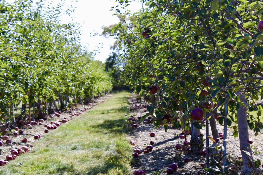 Apple picking is a staple of fall and is a great weekend activity for college students.