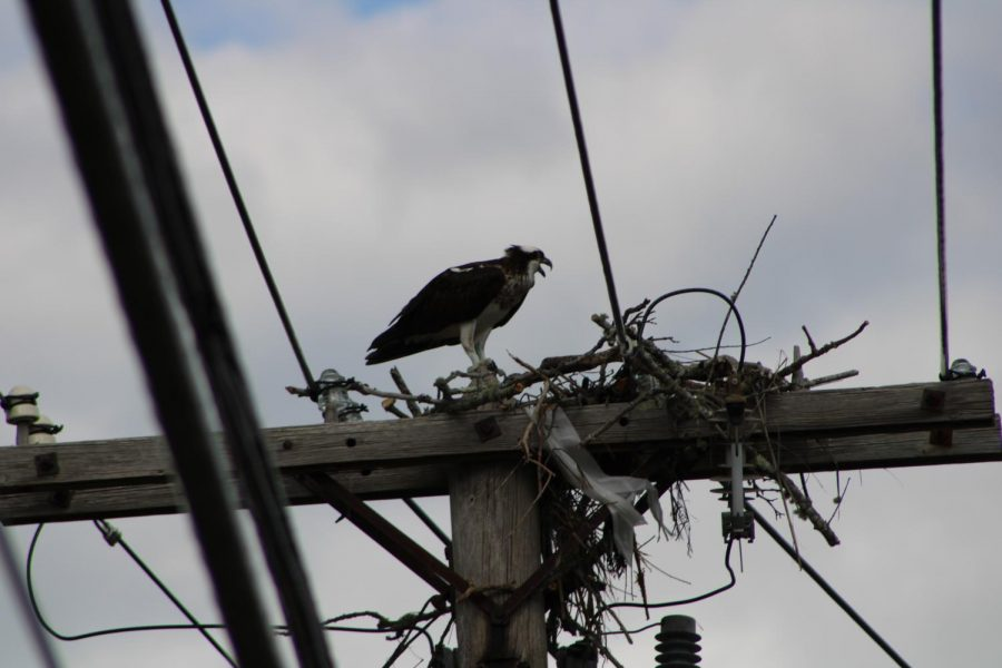 Ospreys build their nests on telephone poles and platforms and lay their eggs sometime in April or May.