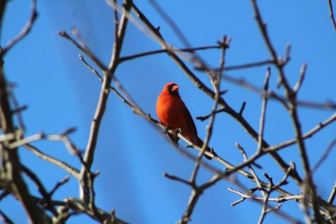 Male cardinals are bright red while their female counterparts art brown with red tinges.