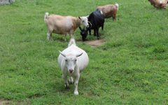 Mount Hope Farm is the home to goats who each have a collar with their name on it.