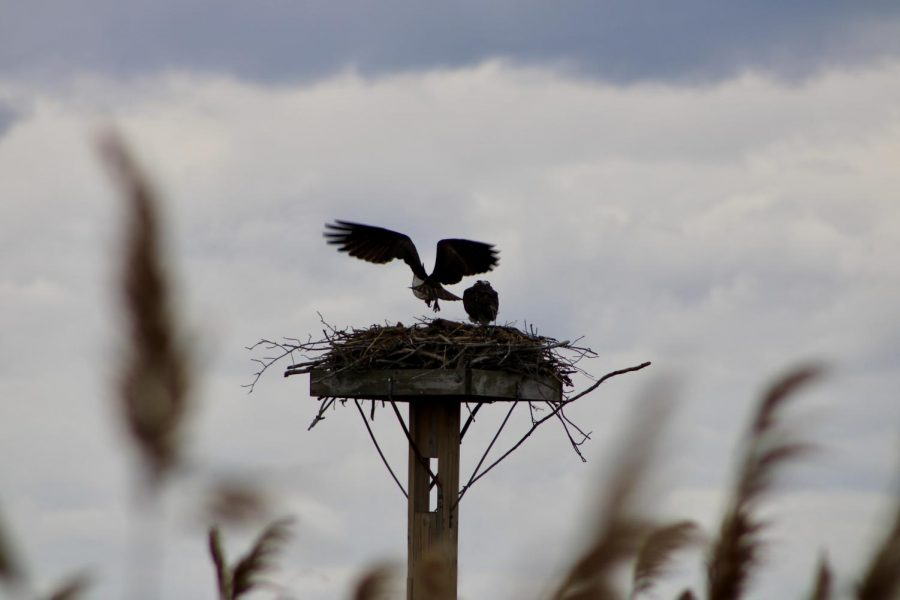 Two ospreys in their nest located at the Claire D. McIntosh Wildlife Refuge in Bristol in April 2021. Ospreys spend the warmer months up north when they lay their eggs.